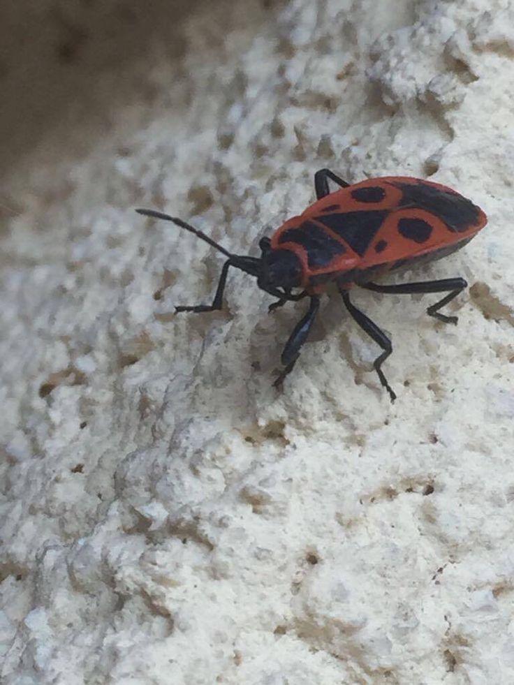 Ploštice - Heteroptera, na zahradě