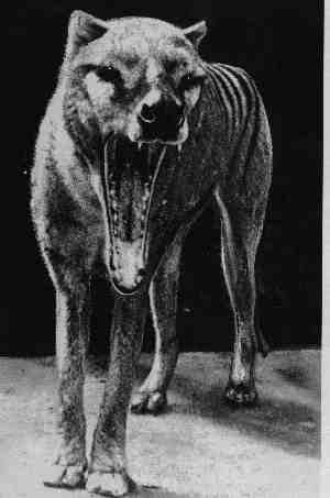 The thylacine (Thylacinus cynocephalus) was the largest known carnivorous marsupial of modern times. It is commonly known as the Tasmanian tiger (because of its striped back) or the Tasmanian wolf. It was native to continental Australia, Tasmania and New Guinea, and it became extinct in the 20th century. http://en.wikipedia.org/wiki/Thylacine
