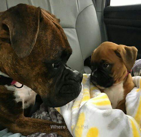 See more Boxer Dog Troll Face Photos . Follow Us!