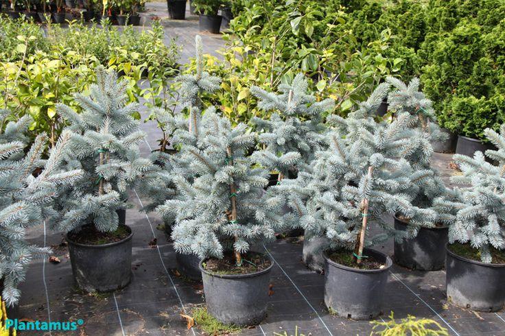Picea azulada. http://www.plantamus.es/ARBOLES-ARBUSTOS/venta-de-arboles/arboles-perennes