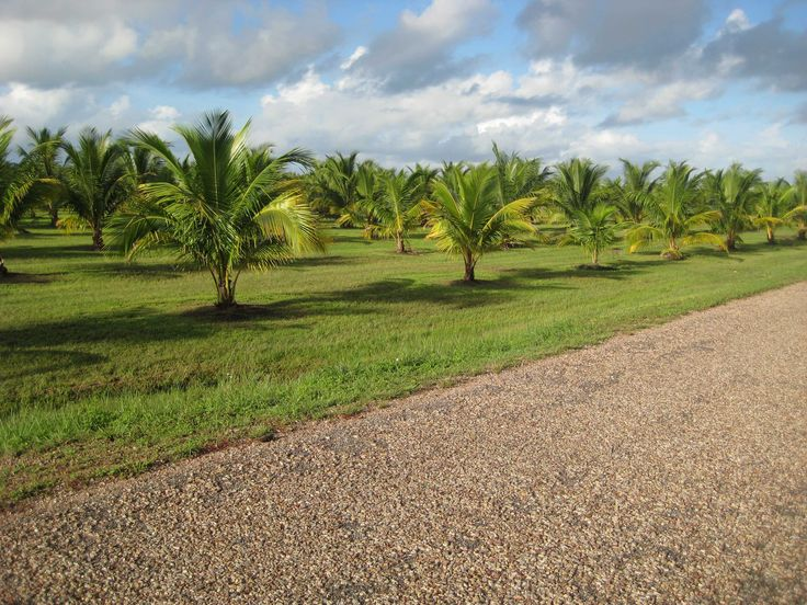 RodLa Construction LTD. Rows & Rows of Coconut Trees. This Is How Rodla Construction Beautifies The Country Sides.
