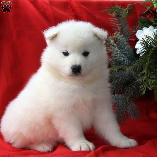 Samoyed Dogs For Sale In Ga