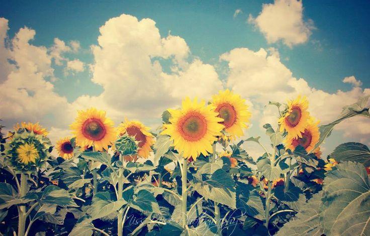 summer,sunflower