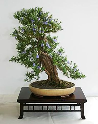 Last Rosemary bonsai, I promise.  This one is in bloom with little purple flowers.  What a wonderful trunk on this one!