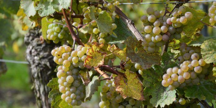 Saale-Unstrut Wein kaufen in Berlin. In unserem Webshop finden sie ausgewählte Weine der Region Saale-Unstrut zu fairen Preisen. Lieferung nach Absprache.