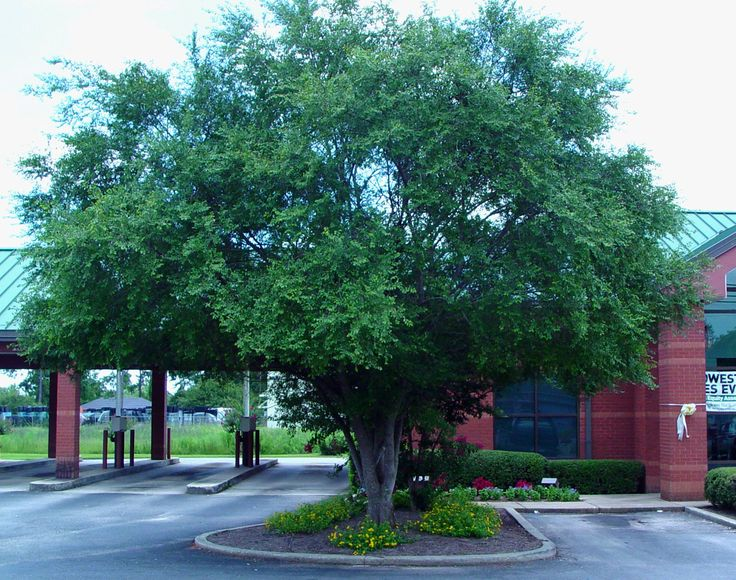Chinese Elm Tree Chinese Elm Has Become A Southern