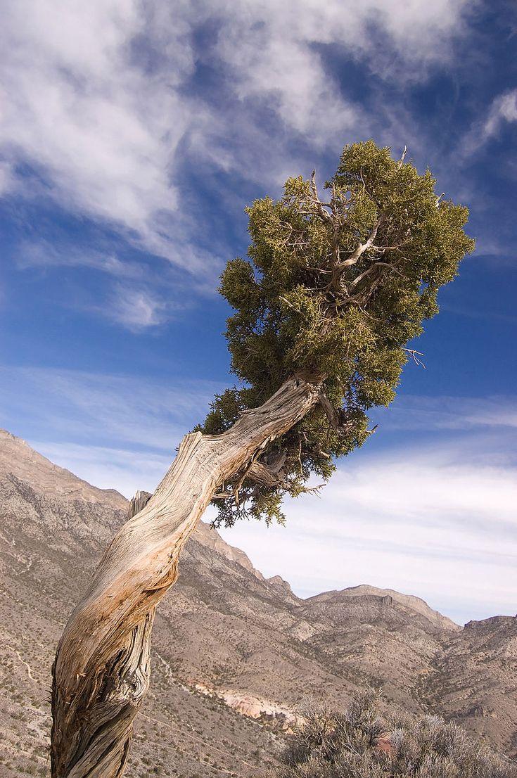 Juniperus osteosperma 1.jpg