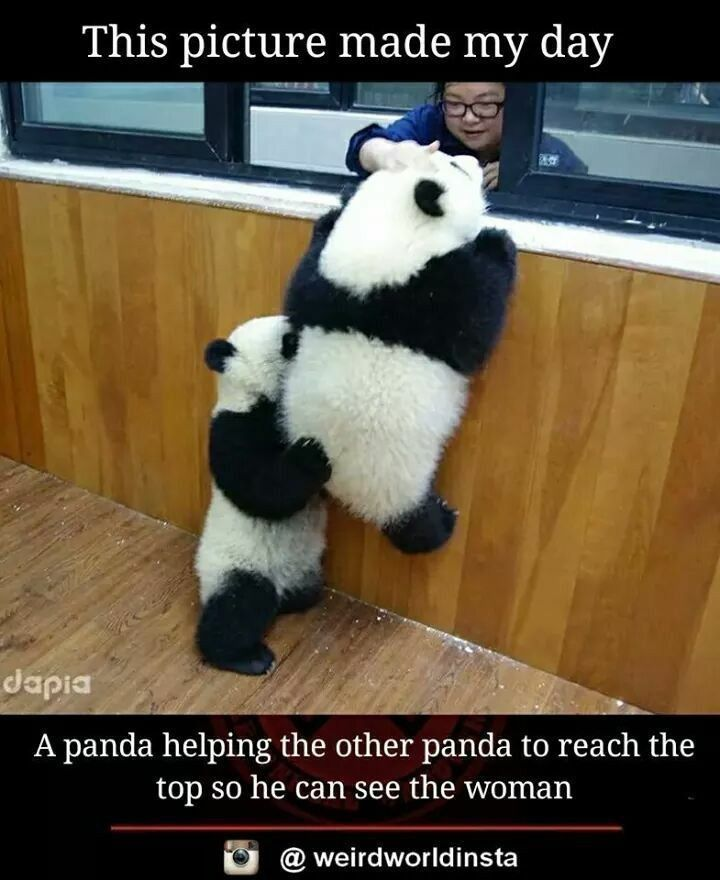 Panda Helping The Other Panda Baby Animals Funny Cute Little Animals Funny Animals