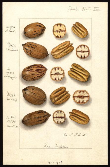 Artist:     Schutt, Ellen Isham, 1873-1955  Scientific name:     Carya illinoinensis  Common name:     pecans  Physical description:     1 art original : col. ; 17 x 25 cm.  NAL note:     Watercolor includes: 39876 Wolford; 39872 President; 39926 Sovereign; 39929 Kincaid; 39971, 39934 Mautura  Specimen:     39876; 39872; 39926; 39929; 39934  Notes on original:     No. 39971 Dup. plate 8. 1907 y-b