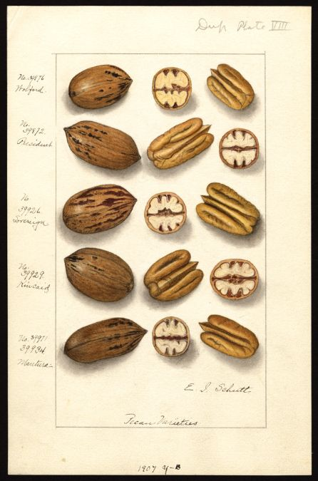 Artist:     Schutt, Ellen Isham, 1873-1955  Scientific name:     Carya illinoinensis  Common name:     pecans  Physical description:     1 art original : col. ; 17 x 25 cm.  NAL note:     Watercolor includes: 39876 Wolford; 39872 President; 39926 Sovereign; 39929 Kincaid; 39971, 39934 Mautura  Specimen:     39876; 39872; 39926; 39929; 39934  Notes on original:     No. 39971 Dup. plate 8. 1907 y-b