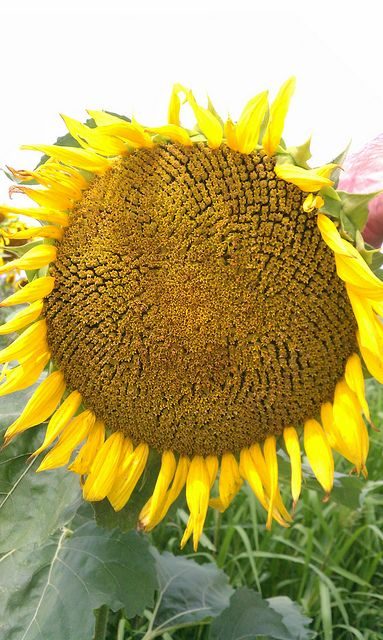 I have a thing for sunflowers...