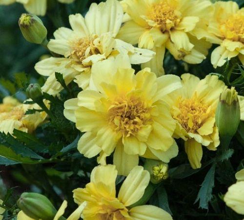 Marigold-Durango-Lemon-Zest-French-type-30-de-tailed-seeds-Annuals