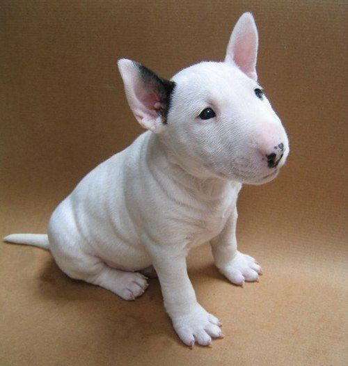 bull terrier...most people are familiar with bull terriers because of the target dog. I first came to know of them because of Meatball, Pappy Boyington's dog in Black Sheep Squadron.