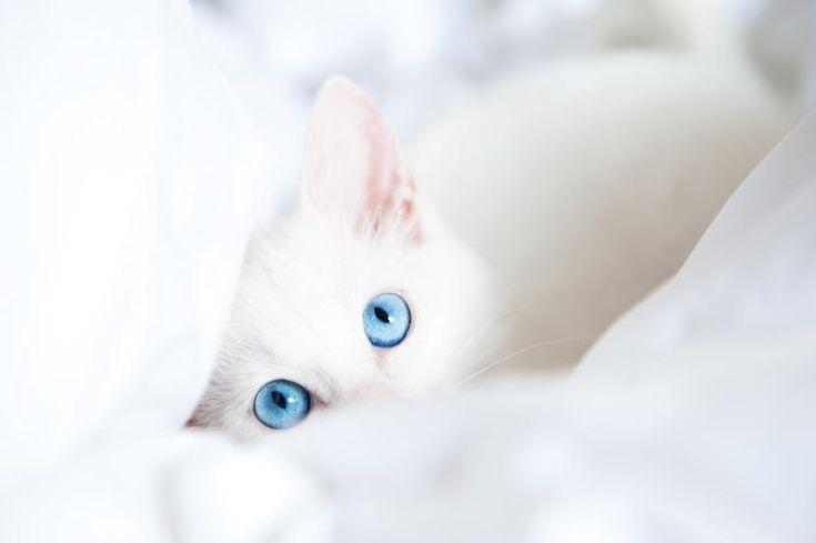 Gatos blancos de ojos azules y la sordera - http://www.notigatos.es/gatos-blancos-de-ojos-azules-y-la-sordera/ #gatos