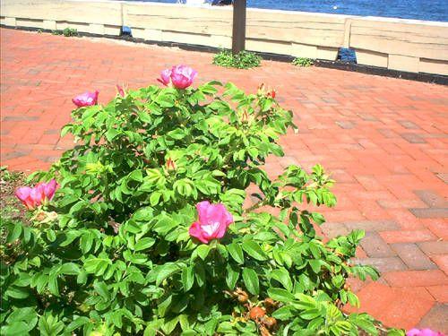 20 best shore garden images on pinterest for Beach house landscaping plants