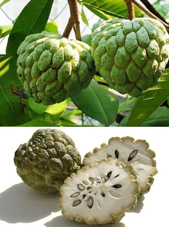 Custard Apple    Custard Apple    The custard-apple, also called bullock's heart or bull's heart, is the fruit of the tree Annona reticulata. This tree is a small deciduous or semi-evergreen tree sometimes reaching 10 metres (33 ft) tall and a native of the tropical New World that prefers low elevations, and a warm, humid climate. It is cultivated in many tropical countries, and also occurs as feral populations in many parts of the world including Southeast Asia, Taiwan, India, Australia…