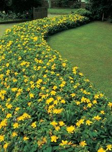 Hypericum calycinum (St John's Wort) is an excellent groundcover plant, tolerating deep shade and dry soil.