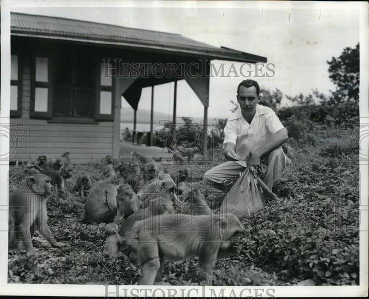 1950 Press Photo Colony of Monkeys at the Humacao Island, Puerto Rico.