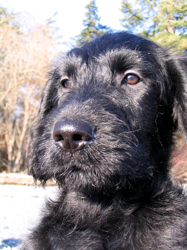 Black Labradoodle puppy. Ferrous in the sunshine. Puppy