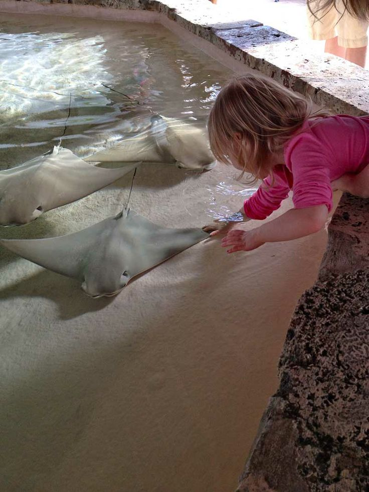 always great fun to see little kids (and adults!) using the Touch Tank at Mote Aquarium in Sarasota. She's touching cow nose rays….