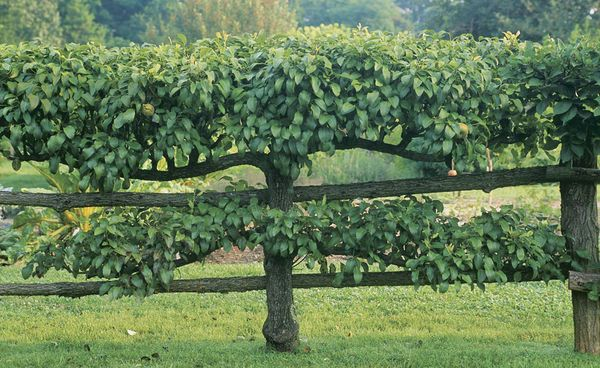 Produce more fruit in less space with this centuries-old technique. Ron Wade guides us step-by-step through the first three years in the life of an espaliered apple tree.