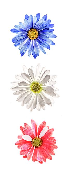 Three daisies: blue, red and white colored daisies isolated on white background. These three daisies represents three colors in USA flag. This creative flower image can be a great choice for your home and office wall decor choices