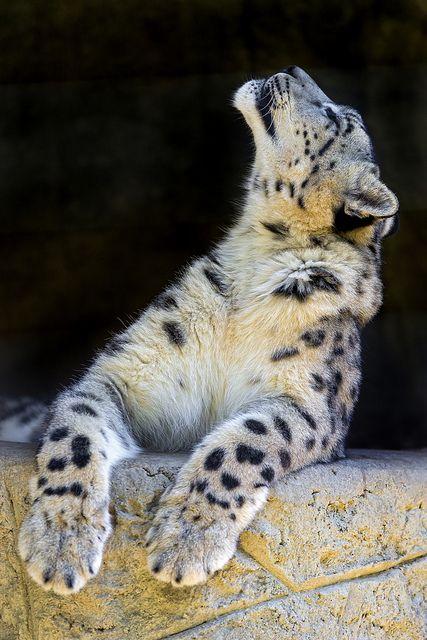 tigersandcompany:        Snow leopard (by Tambako the Jaguar)