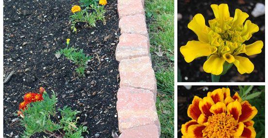 Marigolds in the Vegetable Garden? Yes!