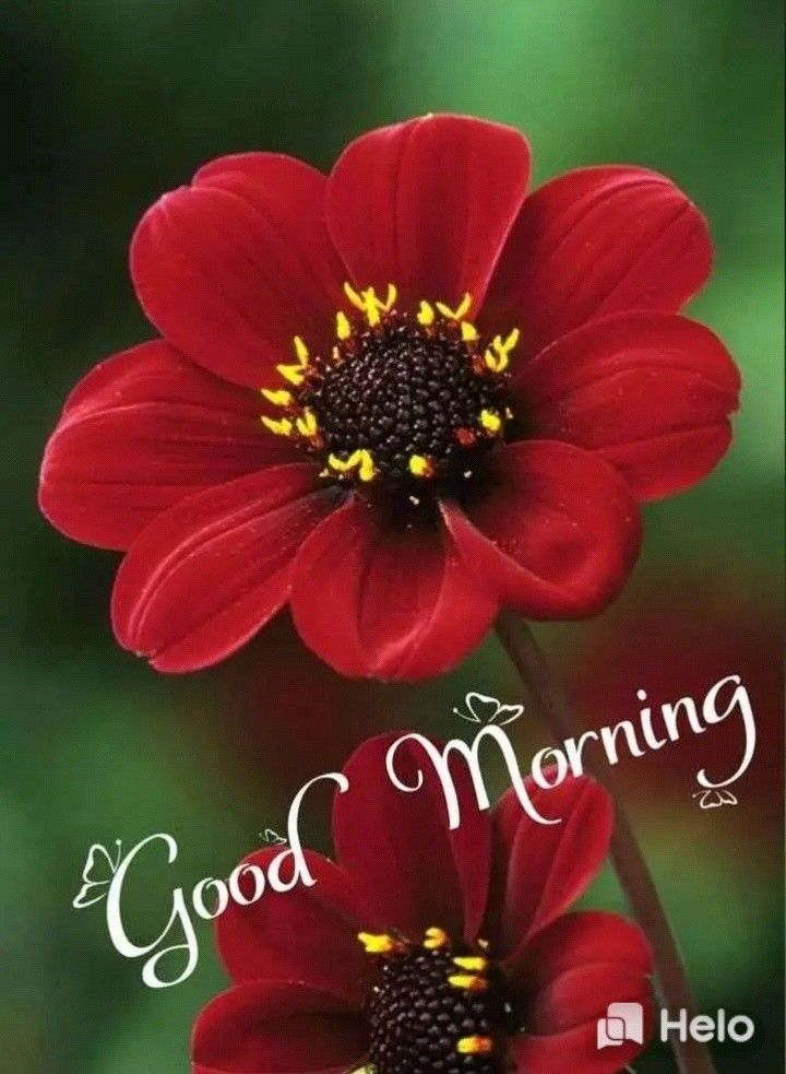 Pin By Sathya On Good Morning Dahlia Rare Flowers Plants