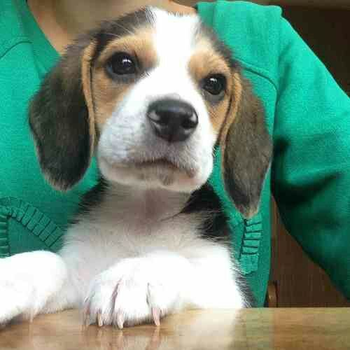 17 Best Images About Puppy Love On Pinterest Beagle