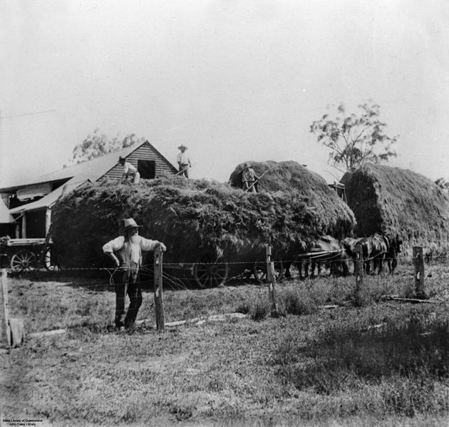 Stacking hay at Free's farm, near Warwick, Queensland, 1894. Large wagon-load of hay, drawn by horses. The hay is being piled into the stack building. NOV 1894.
