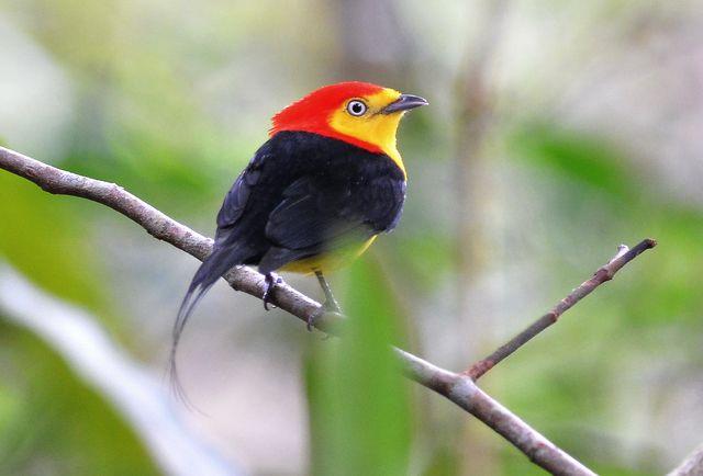 Foto rabo-de-arame (Pipra filicauda) por Robson Czaban   Wiki Aves - A Enciclopédia das Aves do Brasil