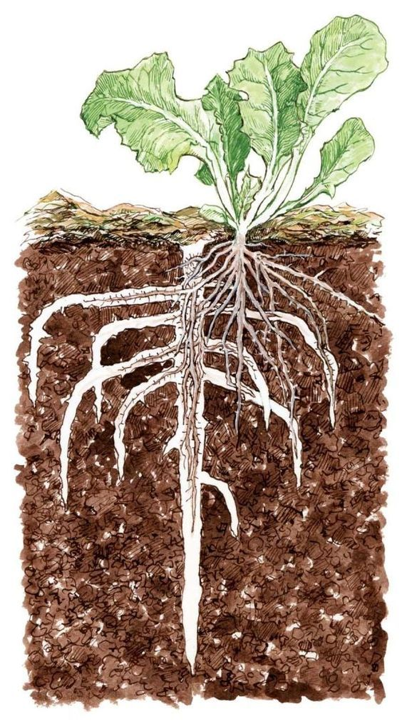 How cover crops create deeper root channels for subsequent plantings || Use Cover Crops to Improve Soil - Organic Gardening - MOTHER EARTH NEWS