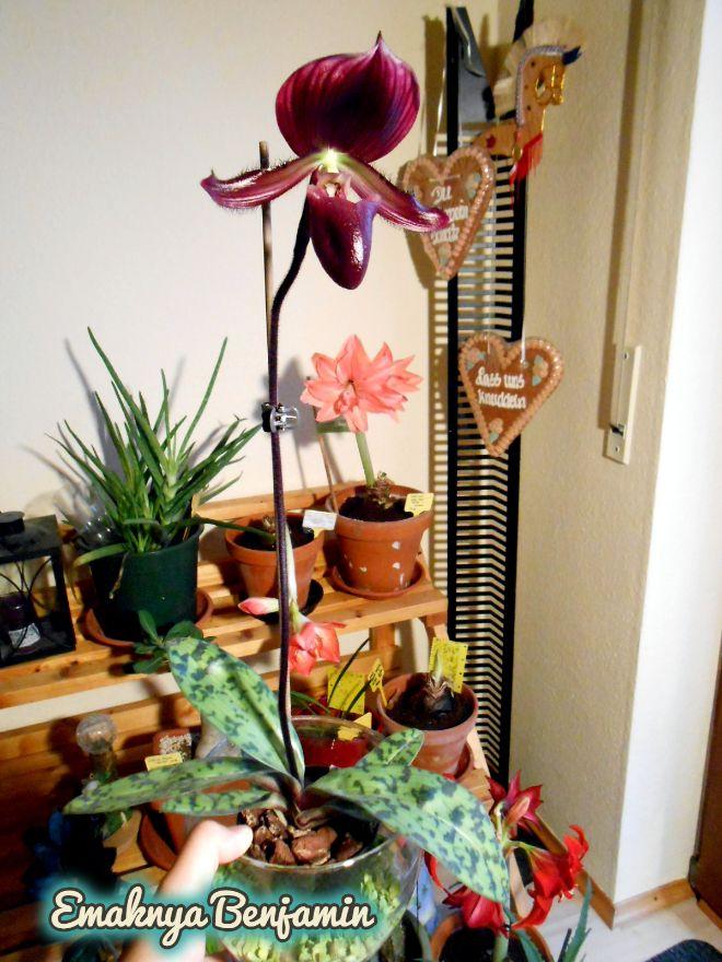 Full Blooming Paphiopedilum Maudiae Vinicolor Slipper Orchid