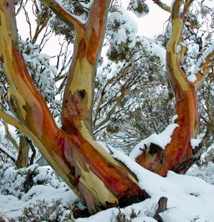 """Snow Gum"" found in the Snowy Mountains of Victoria."