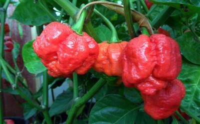"""New Mexico State University's Chili Pepper Institute has identified the Trinidad Moruga Scorpion as the new hottest pepper on the planet."" That was back in February 2012. But has the Carolina Reaper since surpassed the Scorpion as the number one killer-chill?"