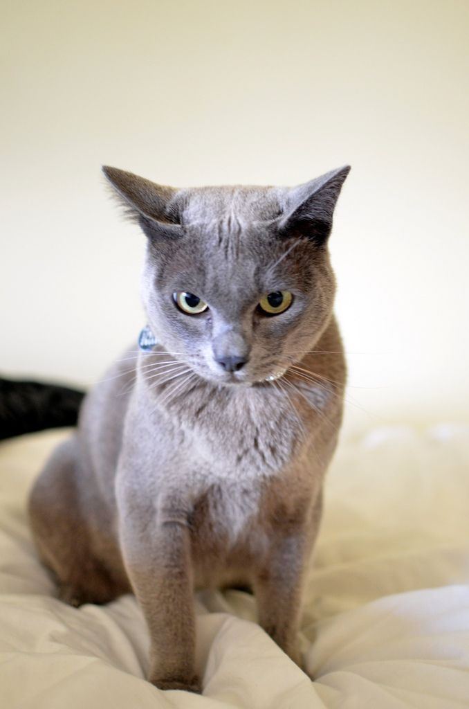 Alvin The Lilac Burmese Kitten With Images Burmese Kittens Burmese Cat Tabby Cat
