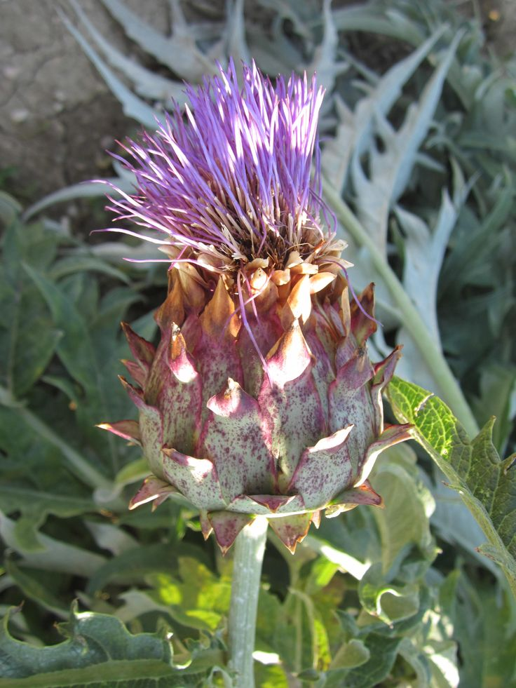 #vegetable #senzantorto #orto #cardo #foligno #fiore #flower