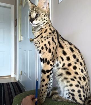 The legs on 'em. | People Have Giant Cats Living In Their Houses And Oh My Goodness