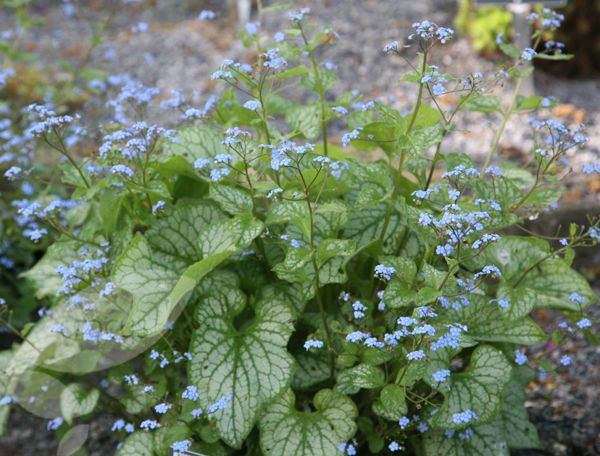 Buy Siberian bugloss Brunnera macrophylla 'Jack Frost (PBR)': Delivery by Crocus