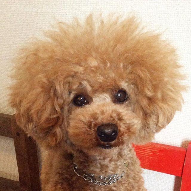 久しぶりのシャンプーで、割れてた頭の毛がボンッてなりました💣ブラッシングしながらのドライヤーで、私の腕は筋肉痛!😭でも、手触りは、最高‼️😆😍💕 #toypoodle #dog #doglove #dogstagram #doglover #milkcrown #kawaii #lovedog #lovedogs #lovemydog #シャンプー #アフロ #フワフワ #トイプードル #といぷーどる #トイプードルアプリコット #トイプードルレッド男の子 #可愛い #かわいい #愛犬 #いぬ #犬 #ドッグ
