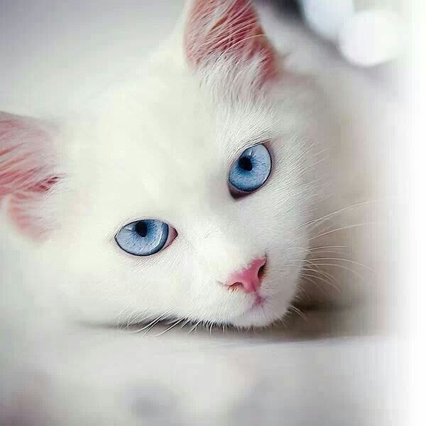 Frostfoot- white she-cat with strikingly blue eyes queen ... White Baby Cat With Blue Eyes