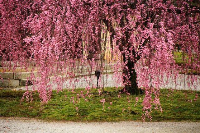 京都大覚寺勅使門の満開のピンクのしだれ桜