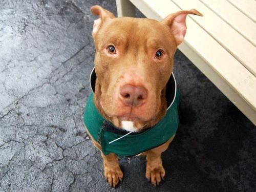 Meet Chesnut, a Petfinder adoptable American Staffordshire Terrier Dog | Williston, VT | You can fill out an adoption application online on our official website.A volunteer updates: ...