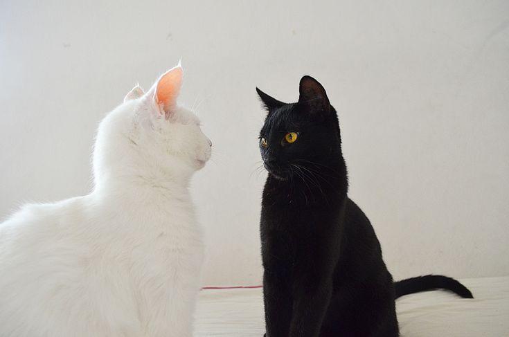 gato preto, gato branco