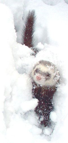 Ferret enjoying the snow!