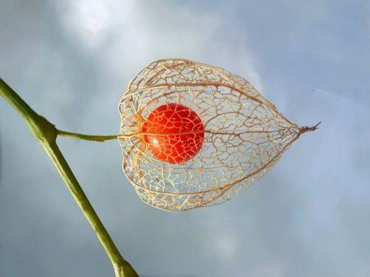 Физалис – вкусная ягода из «китайского фонарика» Все виды физалиса объединяют и отличают от других растений плоды, спрятанные в своеобразный «китайский фонарик», будто сделанный из папирусной бумаги. «Земляничный томат», «земляничная вишня», «перуанский крыжовник», «еврейское яблоко» – все эти названия физалис получил благодаря внешнему облику и вкусовым качествам. Дословно название Физалис можно перевести с греческого как «пузырь».