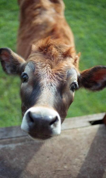 Curious cows are the best ones!