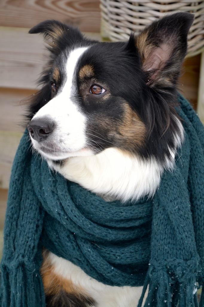 border collie, best dog ever