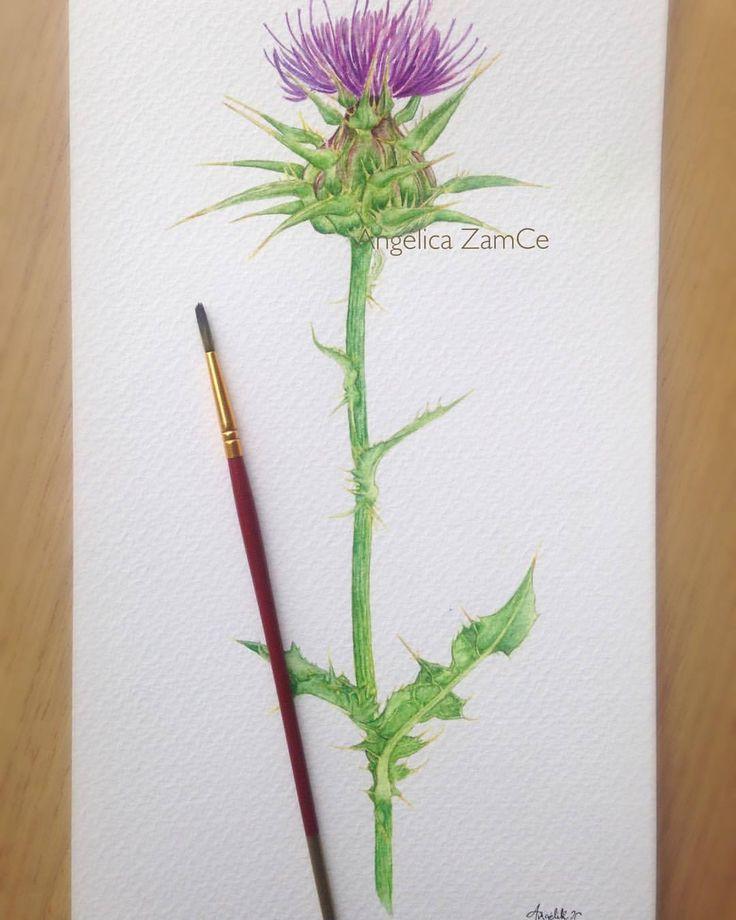 Cardo mariano (Silybum marianum). Planta ilustrada en técnica de acuarela. Watercolor plant,  botanical scientific illustration.